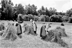 1 Fra dengang man høstede med le - band kornet i neg og satte nege i skok