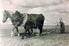 2-Hest-og-ko-som-forspand-til-pløjningen-1930